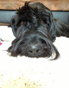 Theo, the Giant Schnauzer puppy.