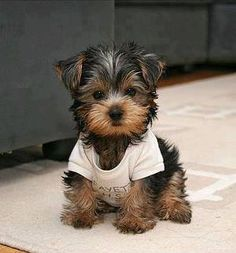 really cute little Yorkshire Terrier. Awe reminds me of my mini runt yorkie dog Simon. Best dogs ever! Chien Yorkshire Terrier, Cute Puppies, Dogs And Puppies, Bear Dogs, Adorable Dogs, Baby Animals, Cute Animals, Funny Animals, Teacup Yorkie