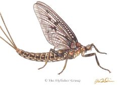 Mayfly: Brown Drake (Adult)