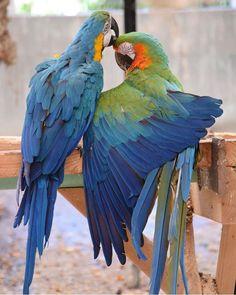 Pretty Birds, Love Birds, Beautiful Birds, Macaw Parrot For Sale, Parrot Bird, Parakeets, Cockatiel, Exotic Birds, Exotic Pets