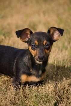 Lucky Chihuahua Mix • Adult • Female • Small Humane Society of Uvalde Uvalde, TX