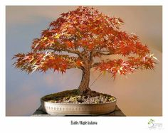 Bonsai Érable / Maple Arakawa