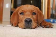 Red Lab Puppy :) Fox Red Labrador Puppy, Red Lab Puppies, Puppies And Kitties, Doggies, Golden Retriever, Retriever Puppy, Labrador Retrievers, Hamsters, Dog Day Afternoon
