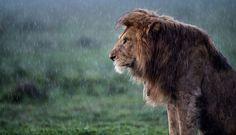 雨に打たれるライオン | ナショナルジオグラフィック日本版サイト