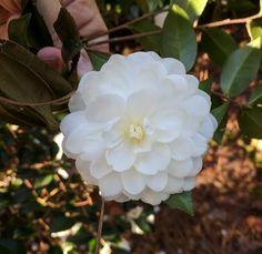 Camellia sasanqua 'Marie Kirk'