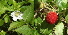 Morango-silvestre é usado como planta medicinal e também cosmética