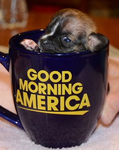 At a little over two weeks old, Beyonce the puppy was roughly the size of an iPhone and fit snugly into a coffee cup on Good Morning America.