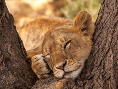 Resting Lion Cub, Serengeti Wildlife Preserve, Tanzania