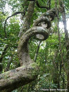 Twisty rainforest vine by Wild-Jungleman, via Flickr