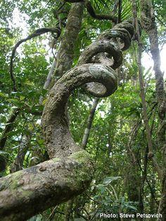 Twisty rainforest vine by Wild-Jungleman, via Flickr