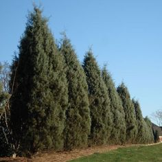 Thrives on Neglect! -  Extremely drought tolerant Forms a thick privacy screen Adaptable to various soil types  The attractive 'Blue Sapphire' Cypress is the most drought tolerant of any evergreen! There is no need to worry about heat waves and water restrictions with this hardy tree. Stands up to the extreme...