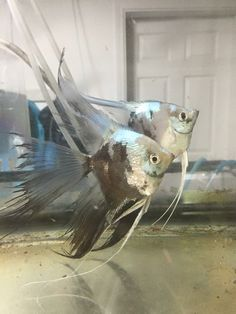 Veil Angelfish Discus Fish, Fish Fish, Oscar Fish, Freshwater Aquarium Fish, Underwater Life, Angel Fish, Beautiful Fish, Cichlids, Tropical Fish