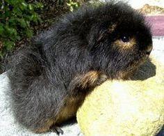 wow... teddy guinea pig is very cute :)