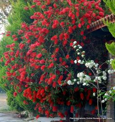 Callistemon Kings Park Special Description: Medium/Tall bushy shrub 4 metres dense foliage. Masses of brilliant red bottlebrush flowers mainly in spring.  Cultivation: Hardy and adaptable to most conditions in full sun. Pruning maintains shape and encourages flowering.