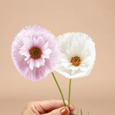 Cupcakes and Saucers Cosmos each bloom like a delicate sculpture. This pink and white blooms look like a cupcake wrapper, with a smaller saucer bloom inside. Easiest Flowers To Grow, Cool Shapes, Spring Plants, Unique Plants, New Shape, Types Of Soil, Drought Tolerant, Summer Garden, Animals For Kids