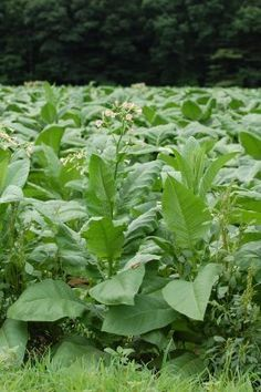 50 Connecticut Broadleaf Tobacco Seeds Wrapper RARE Plant Cigar Filler Binder | eBay