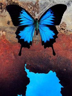 Morpho Butterfly.  Butterfly fact:  Most female butterflies are larger than males. Females also live longer. The life cycle of butterflies is between 2 days to 11 months.