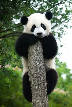 Mei Lan lookin at you. by A Pandographer (Cassie), via Flickr #pandas #pandalovers #animals