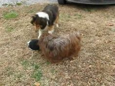 MorningStar Havanese baby puppies playing in the yard