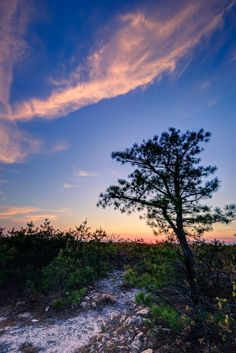 The pygmy pines of the New Jersey Pinelands starring in a blue hour HDR photograph.