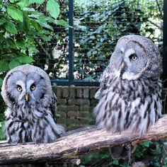 Laplanduil great grey owl Avifauna