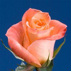 Peach Color Rose