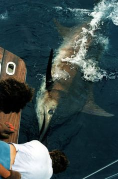 Photo of release of world record Atlantic blue marlin - 1400 lbs - Azores