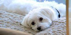 Raças de cachorros ideais para apartamento