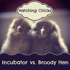 Incubator versus Broody Hen: Chick Hatching Pros and Cons