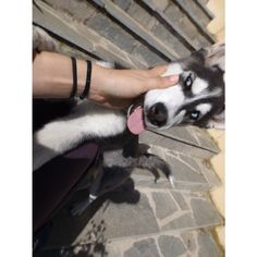 I want to lick you! Husky, Things I Want, Adventure, Dogs, Animals, Instagram, Animaux, Doggies, Animal