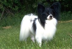 The Papillon is a small, friendly, elegant toy dog with a fine boned structure. He is light and dainty, yet still lively, and is distinguished from other breeds by his beautiful, butterfly-like ears. They are known to be happy and alert little dogs that are not shy or aggressive. The breed must be either parti-color or white with patches of any color.