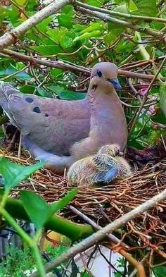 Mourning Dove (Zenaida macroura) - resident throughout Greater Antilles, most of Mexico, Continental United States, southern Canada and the Atlantic archipelago of Bermuda Animals And Pets, Baby Animals, Cute Animals, All Birds, Cute Birds, Bird Pictures, Animal Pictures, Beautiful Birds, Animals Beautiful