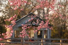 Cherry blossoms with nestled home
