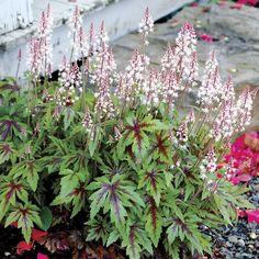 "Sugar and Spice Foamflower (Tiarella Sugar and Spice) at Wayside Gardens 8"""