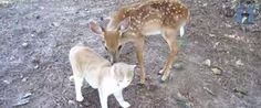 This Cat And This Baby Deer Just Pranced Right Into Our Hearts http://www.huffingtonpost.com/2014/10/13/cat-and-deer-video_n_5977240.html?ncid=txtlnkusaolp00000592