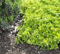 Origanum vulgare 'Aureum' Creeping Golden Marjoram - drought tolerant lawn substitute, mowing keeps it flat and soft to walk on