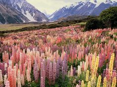 Wild Lupines in Mount Cook National Park, New Zealand by hoangdan1225 via Flickr. Aoraki/Mount Cook National Park is in the South Island of New Zealand near the town of Twizel, and is named for New Zealand's highest mountain which lies within the park. The area was created as a national park in 1953. More than 400 species of plants make up the vegetation in the park, which include colourful Russell lupin, the wild cherry and wilding pines.