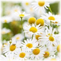 Chamomile Flowers  Elena Elisseeva