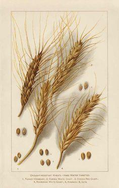 Botanical Illustration of Winter Resistant Wheat