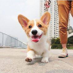 10 Sploot-worthy Holiday Gift Ideas For Corgi Lovers The holidays are on the way, and there's still time to find the perfect gift ideas for Corgi lovers in your life. Here are 10 gift ideas that will have Corgi lovers shaking their fluffy booties for joy Corgi Funny, Cute Corgi, Cute Puppies, Dogs And Puppies, Corgi Dog Breed, Dog Breeds, Welsh Corgi Puppies, Baby Animals, Funny Animals