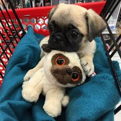 Baby Pug<<<Puglet