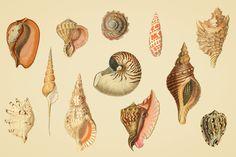 Shells-Vintage-Color-Illustrations-04.jpg (1340×892)