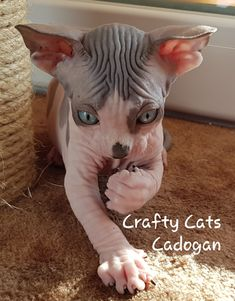 13 Best Sphynx breeders images in 2015 | Sphynx breeders