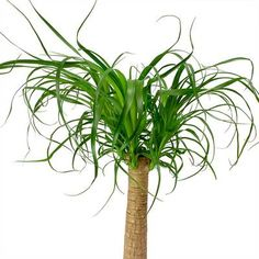 Beaucarnea - Pony Tail Palm - Single Stem - 29 x Pony Tail Palm, Indoor Palms, Sago Palm, Tall Planters, Indoor Plant Pots, Plant Decor, Houseplants, Ponytail, Exotic