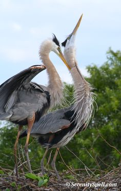 Great Blue Heron Pair on Their Nest in the Florida Wetlands / Everglades