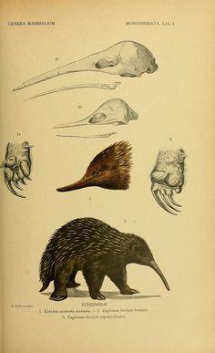Genera mammalium Madrid,1919.