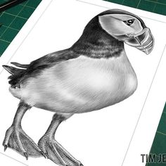 """PREVIEW #16: Intricate Ink Sketches 2 """"Your Ideas"""" Puffin Power! Sometimes called """"Sea Parrots"""" or """"Clowns of the Sea"""", these sea birds are known to be able to flap their wings at up to 400 beats per minute reaching speeds of 88 km/h (or 55mph) Thanks to Melissa Bradley, Juliet Fiss, and Joan Mahoney for their bird suggestions! #puffin #drawingoftheday #draw #drawing #drawings #ink #instadaily #instaart #instago #penandink #pen #puffins #birds #birdsofinstagram #bird #seabird #seabirds"""