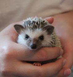 my little hedgehog CoCo..