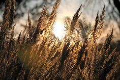 Stock image of 'Close-up dry grass field over the setting sun'