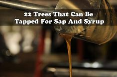 22 Trees That Can Be Tapped For Sap And Syrup